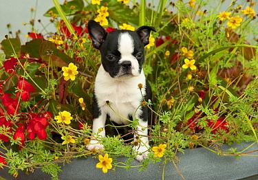 Boston Terrier (Canis familiaris) puppy in flower pot  -  Mark Raycroft
