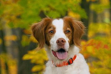 Brittany Spaniel (Canis familiaris)  -  Mark Raycroft