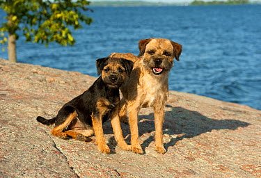 Border Terrier (Canis familiaris) mother and juvenile  -  Mark Raycroft