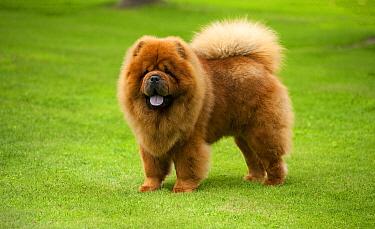Chow Chow (Canis familiaris)  -  Mark Raycroft