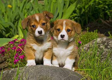 Pembroke Welsh Corgi (Canis familiaris) puppies  -  Mark Raycroft