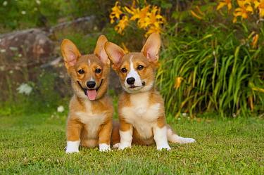 Pembroke Welsh Corgi (Canis familiaris) puppies  -  Mark Raycroft