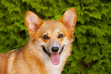 Pembroke Welsh Corgi (Canis familiaris)  -  Mark Raycroft