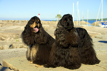 Cocker Spaniel (Canis familiaris) pair  -  Mark Raycroft