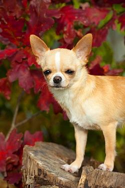 Chihuahua (Canis familiaris)  -  Mark Raycroft