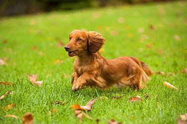 Miniature Long Haired Dachshund (Canis familiaris) running  -  Mark Raycroft