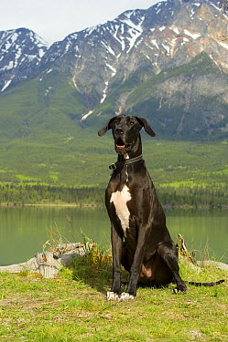 Great Dane (Canis familiaris)  -  Mark Raycroft