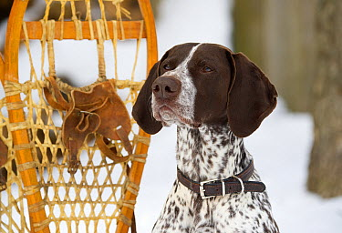 German Shorthaired Pointer (Canis familiaris)  -  Mark Raycroft