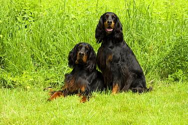 Gordon Setter (Canis familiaris) male and female pair  -  Mark Raycroft