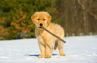 Golden Retriever (Canis familiaris) puppy playing with stick in snow  -  Mark Raycroft