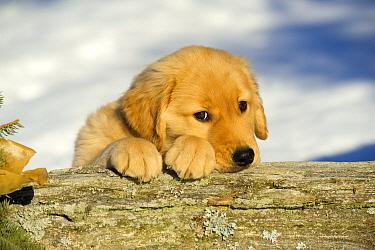 Golden Retriever (Canis familiaris) puppy  -  Mark Raycroft