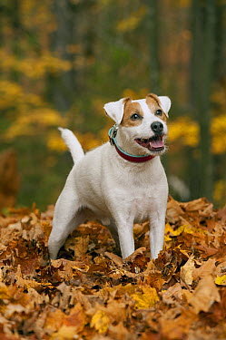 Jack Russell Terrier (Canis familiaris) in fall leaves  -  Mark Raycroft
