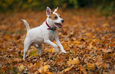 Jack Russell Terrier (Canis familiaris) running  -  Mark Raycroft