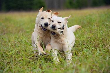 Yellow Labrador Retriever (Canis familiaris) males playing  -  Mark Raycroft