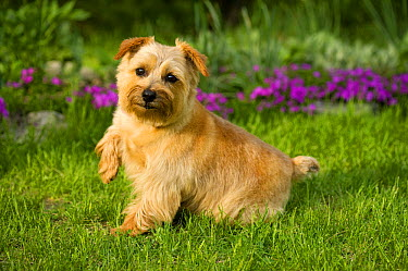 Norfolk Terrier (Canis familiaris) raising paw  -  Mark Raycroft