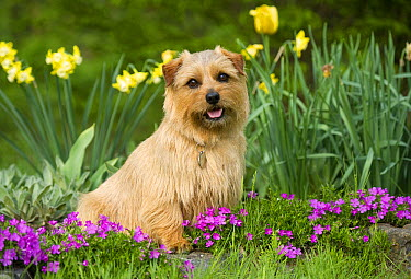 Norfolk Terrier (Canis familiaris)  -  Mark Raycroft