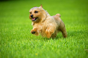 Norfolk Terrier (Canis familiaris) running  -  Mark Raycroft