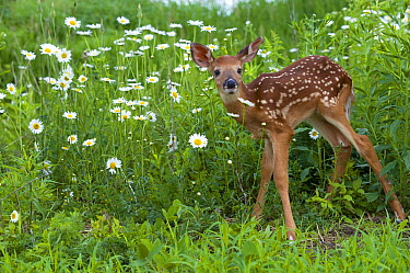 White-tailed Deer (Odocoileus virginianus) fawn  -  Mark Raycroft