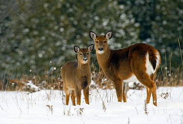 White-tailed Deer (Odocoileus virginianus) mother and fawn in winter  -  Mark Raycroft