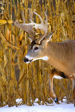 White-tailed Deer (Odocoileus virginianus) buck in winter  -  Mark Raycroft