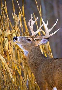 White-tailed Deer (Odocoileus virginianus) buck browsing  -  Mark Raycroft