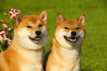 Shiba Inu (Canis familiaris) pair  -  Mark Raycroft