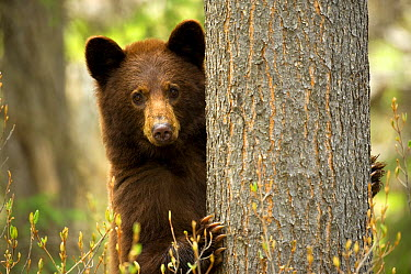 Black Bear (Ursus americanus) peeking from behind tree, North America  -  Mark Raycroft