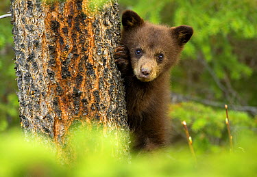Black Bear (Ursus americanus) cub peeking from behind tree, North America  -  Mark Raycroft