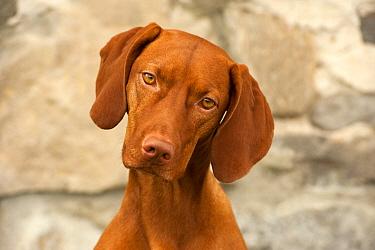 Vizsla (Canis familiaris)  -  Mark Raycroft