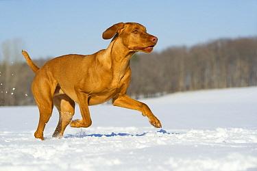 Vizsla (Canis familiaris) running through snow  -  Mark Raycroft