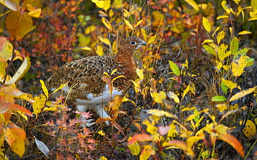 Willow Ptarmigan (Lagopus lagopus) camouflaged on autumn tundra  -  Mark Raycroft