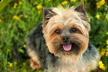 Yorkshire Terrier (Canis familiaris)  -  Mark Raycroft