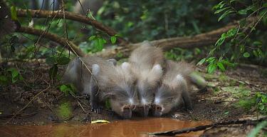 Crested Mangabey (Cercocebus galeritus) group drinking, Tana River Primate Reserve, Kenya  -  Anup Shah