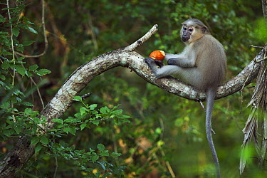 Crested Mangabey (Cercocebus galeritus) feeding on East African Doum Palm (Hyphaene compressa) nut, Tana River Primate Reserve, Kenya  -  Anup Shah