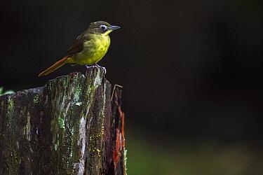 Common Bristlebill (Bleda syndactyla), Kakamega Forest Reserve, Kenya  -  Anup Shah