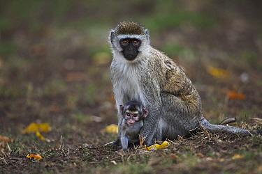 Black-faced Vervet Monkey (Cercopithecus aethiops) mother with baby, Elsamere, Lake Naivasha, Kenya  -  Anup Shah