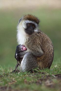 Black-faced Vervet Monkey (Cercopithecus aethiops) female with one week old baby, Elsamere, Lake Naivasha, Kenya  -  Anup Shah
