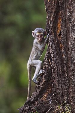 Black-faced Vervet Monkey (Cercopithecus aethiops) young climbing tree, Elsamere, Lake Naivasha, Kenya  -  Anup Shah