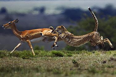Cheetah (Acinonyx jubatus) chasing Impala (Aepyceros melampus) female, Masai Mara, Kenya  -  Anup Shah