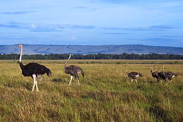 Ostrich (Struthio camelus) family, Masai Mara, Kenya  -  Anup Shah