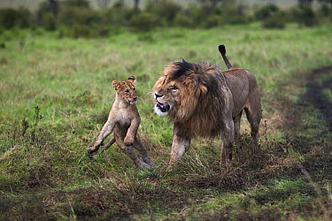 African Lion (Panthera leo) male showing aggression towards playful one year old cub, Masai Mara, Kenya  -  Anup Shah