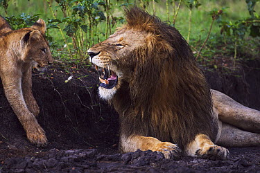 African Lion (Panthera leo) male snarling at one year old cub, Masai Mara, Kenya  -  Anup Shah