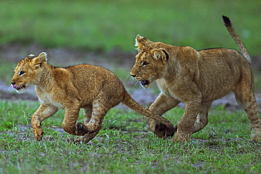 African Lion (Panthera leo) yearling cub playing with younger cub, Masai Mara, Kenya  -  Anup Shah