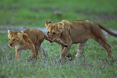 African Lion (Panthera leo) yearling cub playing with younger cub, biting its tail, Masai Mara, Kenya  -  Anup Shah