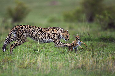Cheetah (Acinonyx jubatus) one year old cub bringing down Thomson's Gazelle (Eudorcas thomsonii) fawn, Masai Mara, Kenya. Sequence 2 of 5  -  Anup Shah