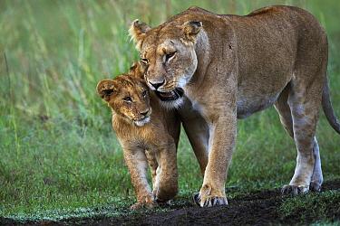 African Lion (Panthera leo) female nuzzling one year old cub, Masai Mara, Kenya  -  Anup Shah