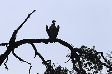 Ruppell's Griffon (Gyps rueppellii) vulture in tree, Masai Mara, Kenya  -  Anup Shah