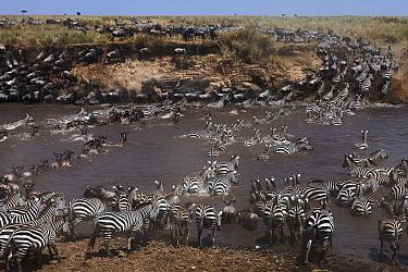 Burchell's Zebra (Equus burchellii) and Blue Wildebeest (Connochaetes taurinus) herd crossing river, Mara River, Masai Mara, Kenya  -  Anup Shah