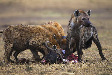 Spotted Hyena (Crocuta crocuta) group feeding on kill, Masai Mara, Kenya  -  Anup Shah