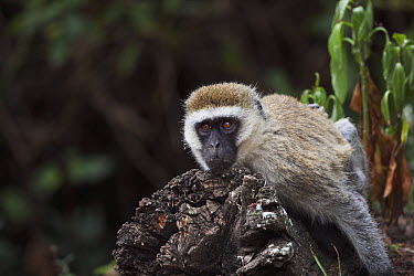 Black-faced Vervet Monkey (Cercopithecus aethiops) female resting, Elsamere, Lake Naivasha, Kenya  -  Fiona Rogers